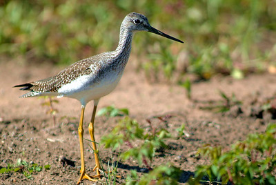 Greater Yellowlegs photographed at Attwater NWR near Eagle Lake, TX.