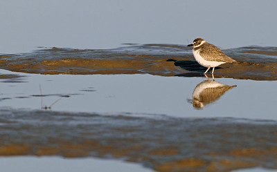 Wilson's Plover photographed on the Bolivar flats at low tide.