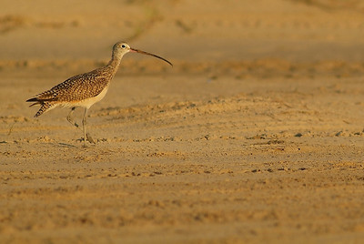 Long-billed Curlew, photographed at Bolivar Flats