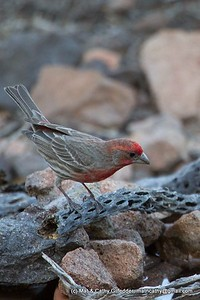 House Finch 5654