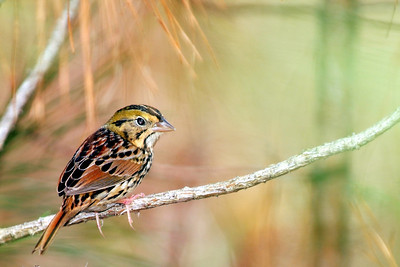 Henslow's Sparrow photographed in Lake Houston State Park with birding guide Gerald Walls.