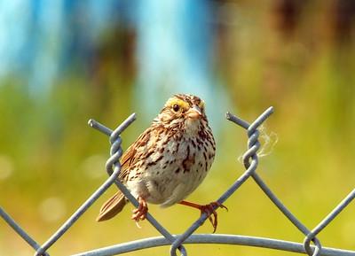 Savannah Sparrow photo taken at Creamers Field in Fairbanks, AK
