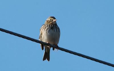 Savannah Sparrow in the Katy Prairie