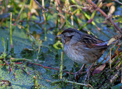 Swamp Sparrow photographed in Brazos Bend State Park