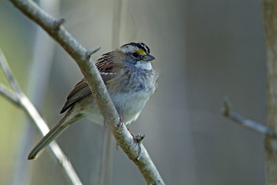 I used a cassette tape to get this White-throated Sparrow close enough for a decent photograph.  Photograph taken at Washington-on-the-Brazos State Park