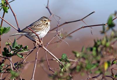 Savannah Sparrow........Katy Prairie
