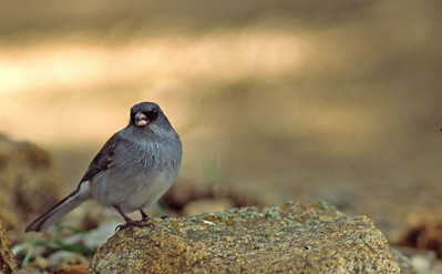 Dark-eyed Junco photographed in Rocky Mountain National Park