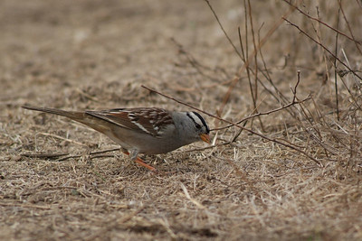 White-crowned Sparrows are widely distributed across the U.S.  This little guy was photographed in Joshua Tree National Park.