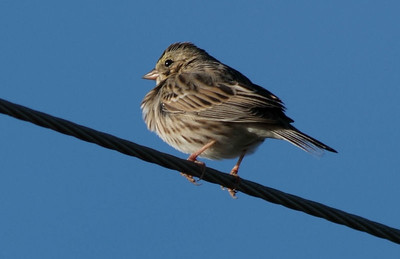Savannah Sparrow in Katy Prairie