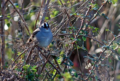 This White-crowned Sparrow was photographed at the Attwater Prairie Chicken NWR.
