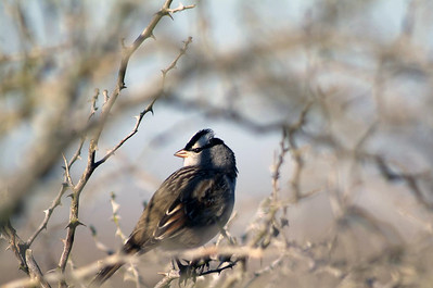 White-crowned Sparrow photographed at the Attwater Prairie Chicken NWR.