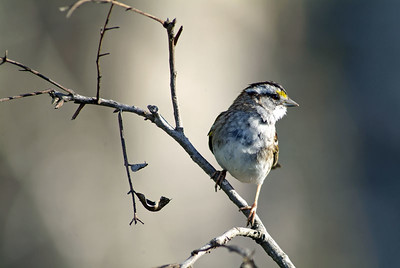 White-throated Sparrow photographed at Washington-on-the-Brazos State Park
