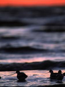 Avocets at dawn