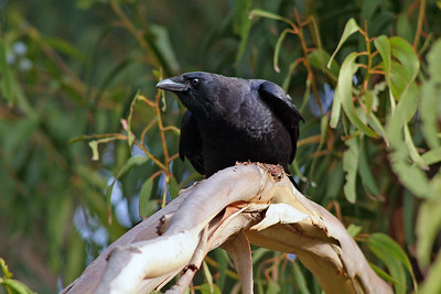 This American Crow was vocalizing with his coharts.  He was photographed in San Pedro, California.