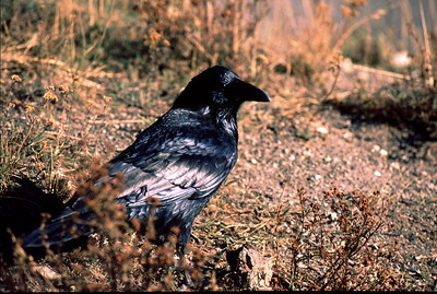 This Common Raven photographed in Yellowstone National Park.