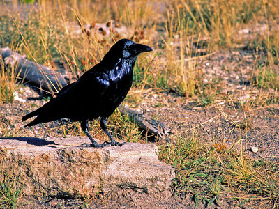 Common Raven photographed in Yellowstone National Park