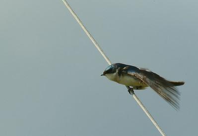 Tree Swallow, photo taken at Creamers Field, Fairbanks, AK