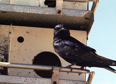 Purple Martin photographed at McFaddin NWR on the Texas coast