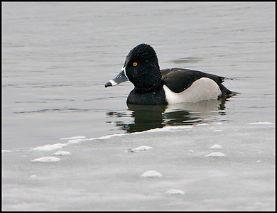 Ring-necked Duck - 2595