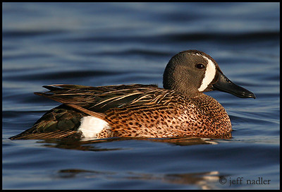 Blue-winged Teal - a1