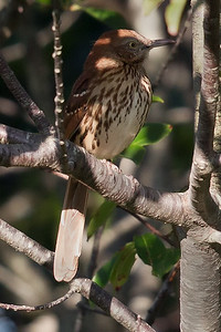 Brown Thrasher 8836