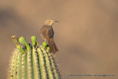 Curve-billed Thrasher 6675