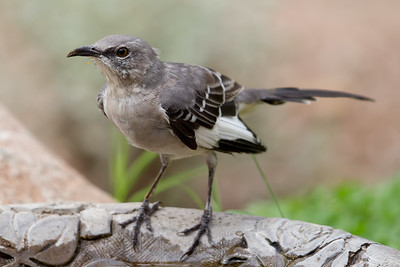 Northern Mockingbird 9402