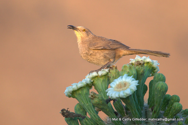 Curve-billed Thrasher 7363