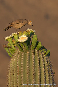 Curve-billed Thrasher 7378