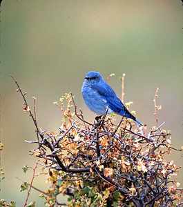 This Mountain Bluebird was photographed in Rocky Mountain National Park.