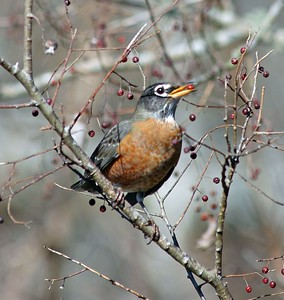 This American Robin was feeding on a hackberry tree in the Bay City Birding Center.
