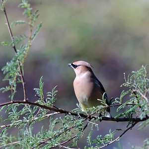 This Cedar Waxwing has an eleogant array of feathers with a black lone ranger mask.  He was photographed in the Bay City Birding Center.