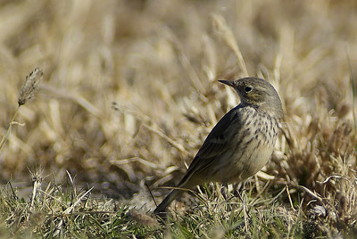Sprague's Pipit photographed at Grand Canyon National Park