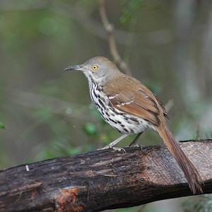 This Long-billed Thrasher was photographed at Bentsen-Rio Grande State Park.