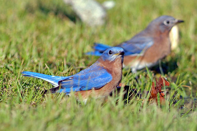 This pair of Eastern Bluebirds were trying to get a drink of water and watch the sky for the Merlin perched on a nearby tree.