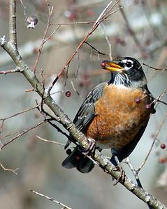 American Robin at Bay City Birding Center