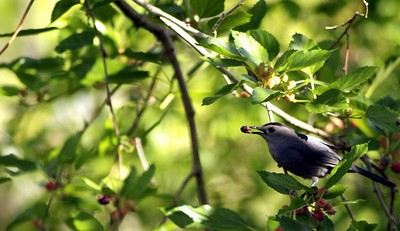 Gray Catbird with a mulberry breakfast at Sabine Woods.