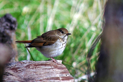 The Hermit Thrush also has an eloquent song.  He was photographed in Stephen F. Austin State Park.