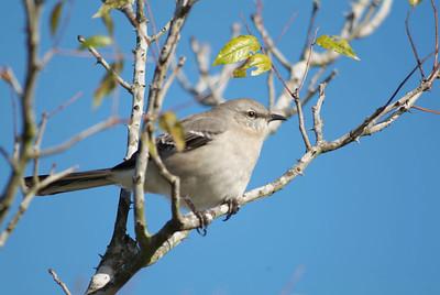State bird of Texas, Northern Mockingbird.