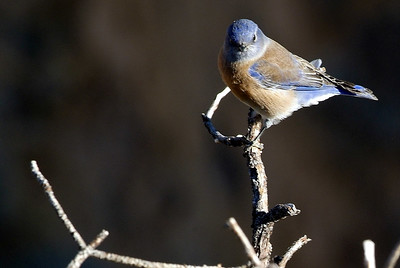 Western Bluebird photographed at Grand Canyon National Park.