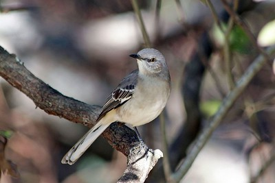 The state bird of Texas has many different songs.  It will mimic other birds' songs. This Northern Mockingbird was photographed in Bear Creek Park catching insects from his perch.