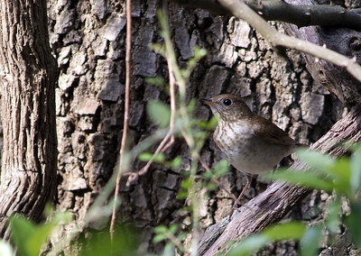This Veery was found around the corner from the drip on the ground foraging for insects.