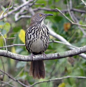 This Long-billed Thrasher was photographed in the Williams Sanctuary in Pharr, TX.