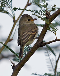 Northern Beardless-Tyrannulet 9745