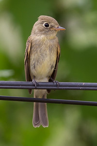 Pacific-slope Flycatcher 9388