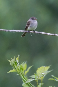Willow Flycatcher 4376