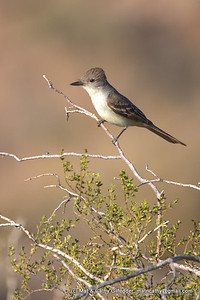 Ash-throated Flycatcher 7351