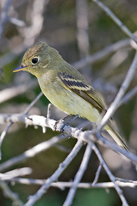 Pacific-slope Flycatcher 1279