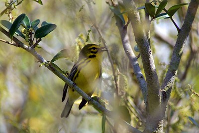 This Prairie Warbler was photographed during spring migration 2005 at Sabine Woods near Port Arthur, TX.