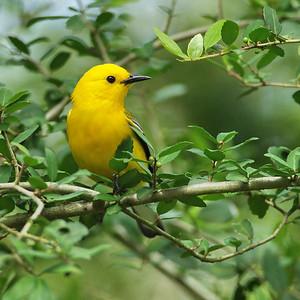 Wood Warblers and Vireos